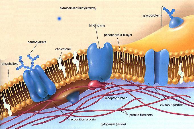 bilayer membrane